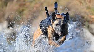 SEAL Team 6 Dog Cairo